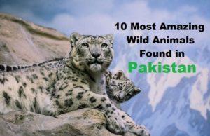 Ten amazing wild animals found in Pakistan