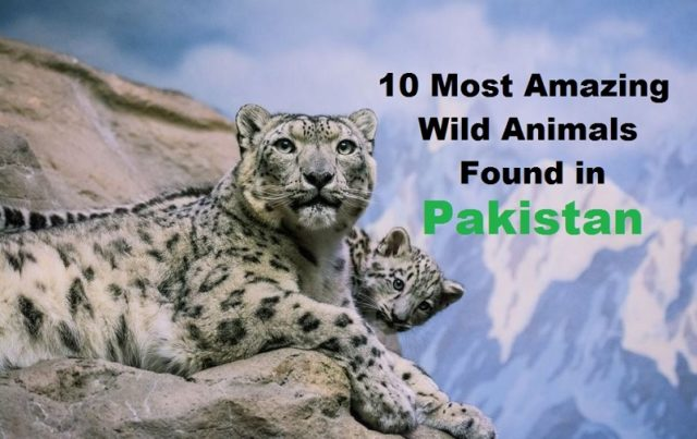 Ten amazing wild animals found in Pakistan