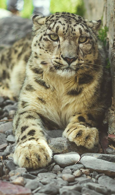 Snow Leopard in Pakistan