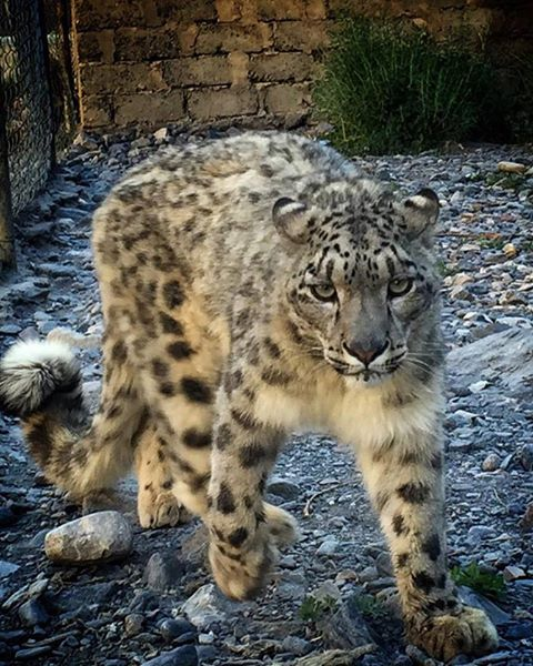 Lolly Snow Leopard