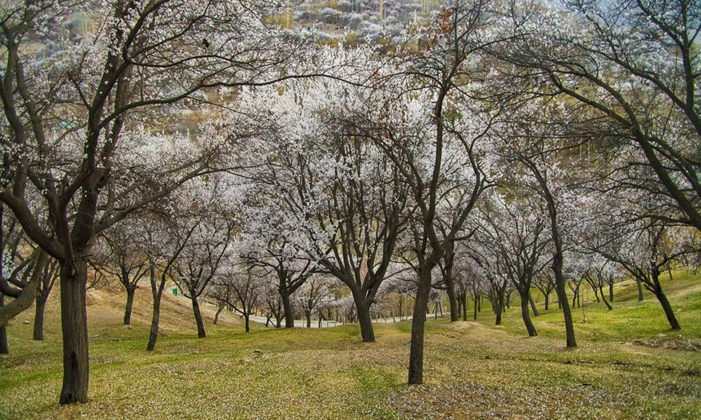 16 - Cherry Blossom Trees in Hunza