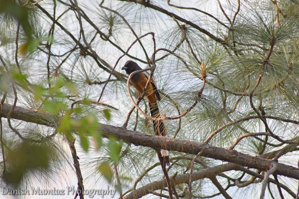 13 - Rufous Treepie - Trail 5