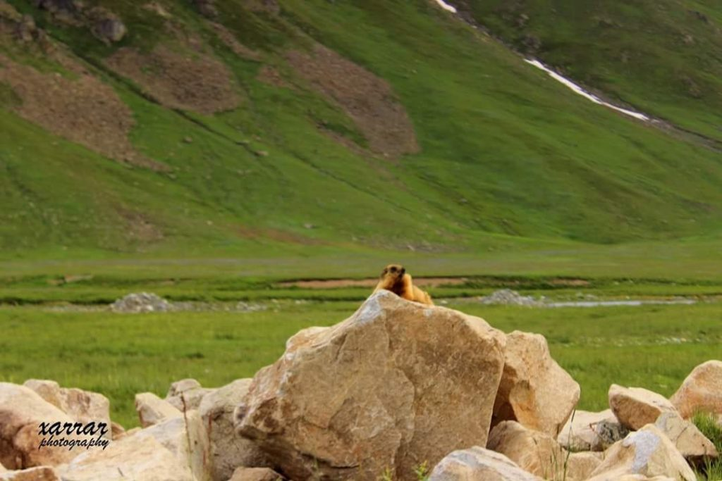14 - Marmot in Deosai - Xarrar Photography