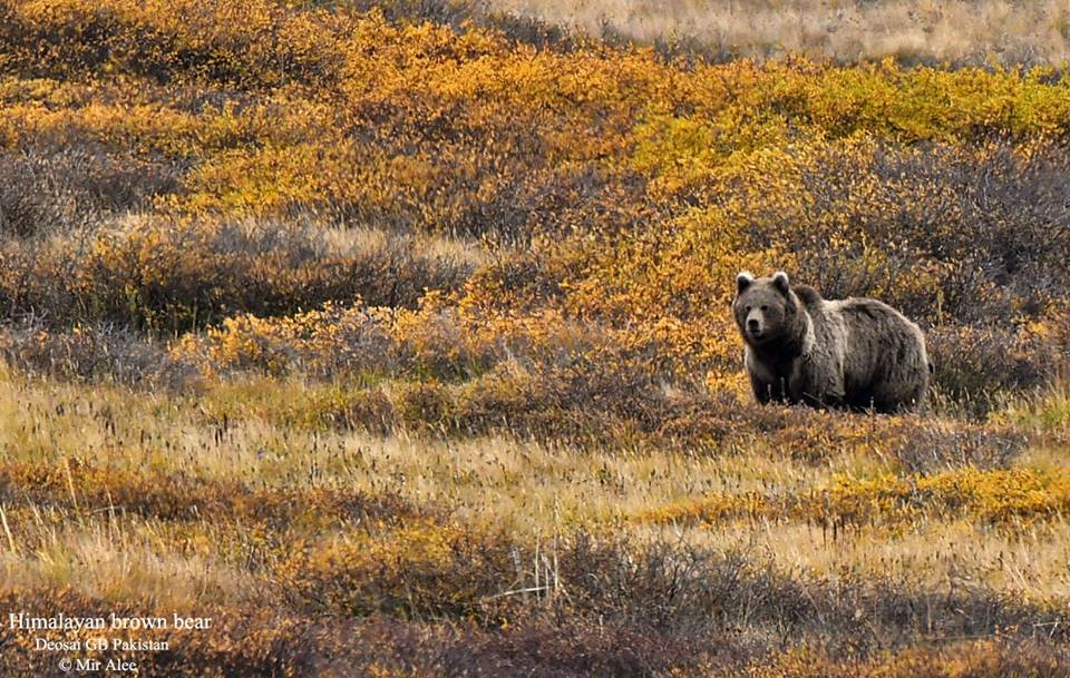 15 - Himalayan Brown Bear Spotted in Deosai - Mir Alee