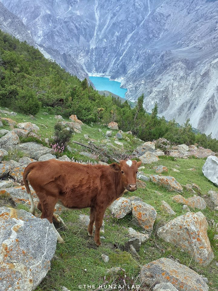 7 - A Cow Posing In Front of Atabad Lake